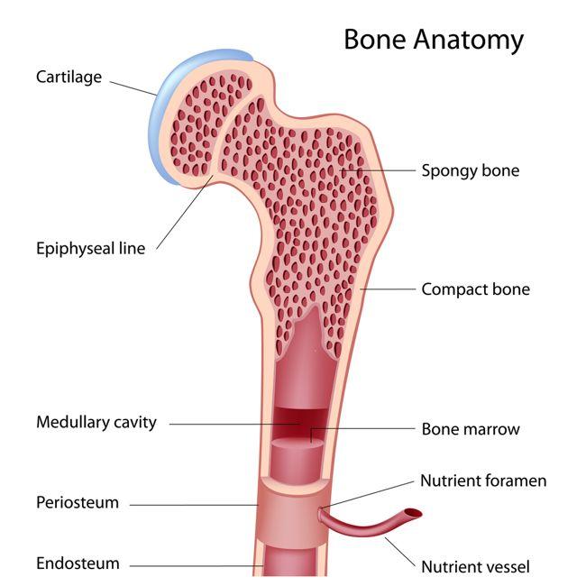 skeletal system bone anatomy