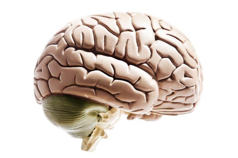 brain anatomy The cerebellum