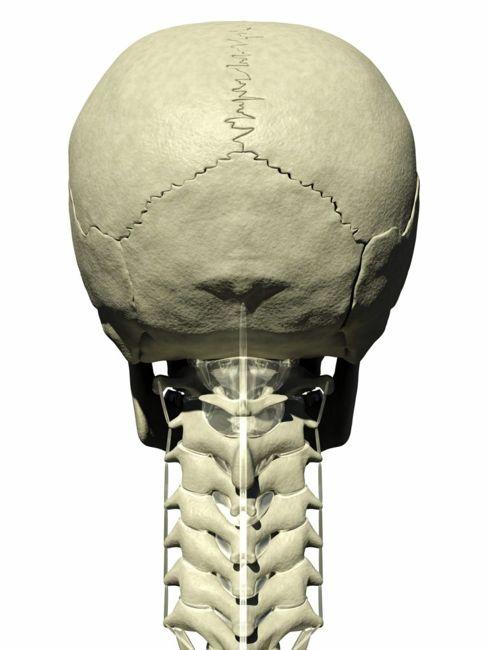 skull spinal column