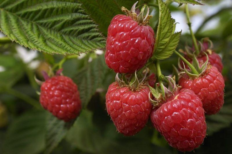 raspberry leaves raspberry leaf tea