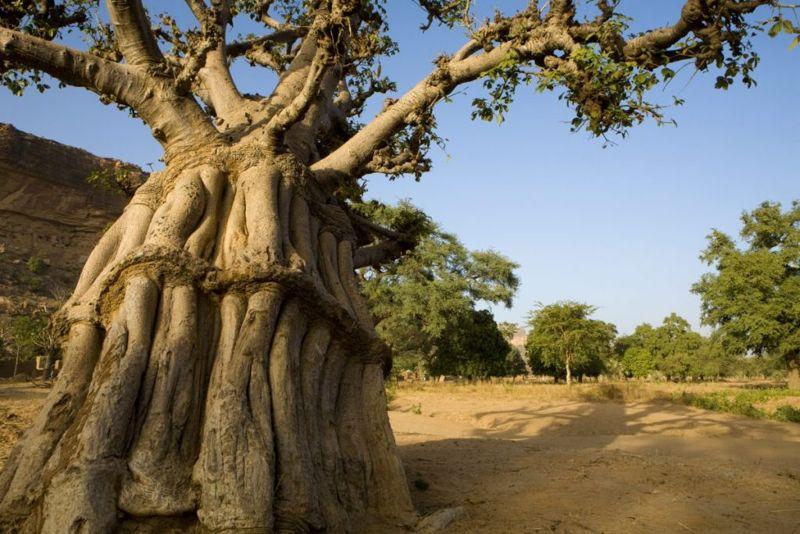 vitamin health benefits of baobab fruit