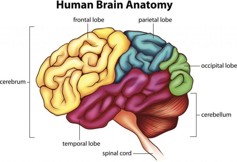 lobes The cerebrum