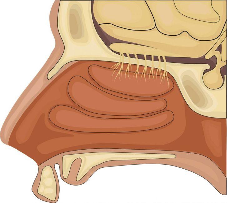 nerves olfactory system