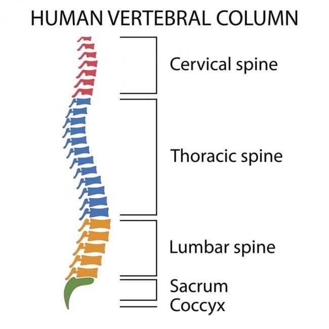 vertebral spinal column