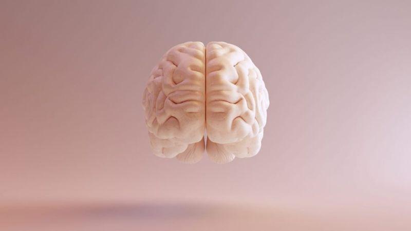 brain The cerebrum