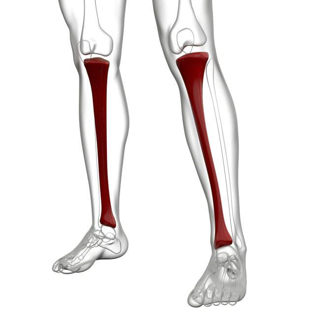 purpose of leg bones