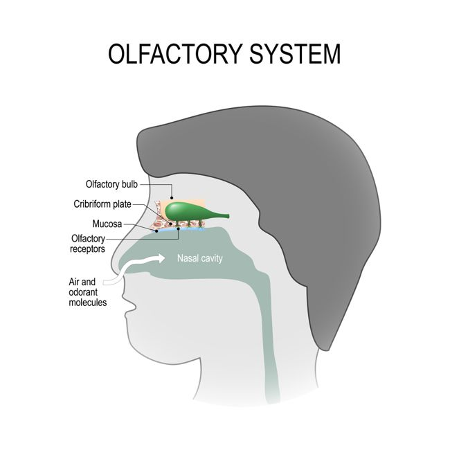 olfactory system nasal cavity