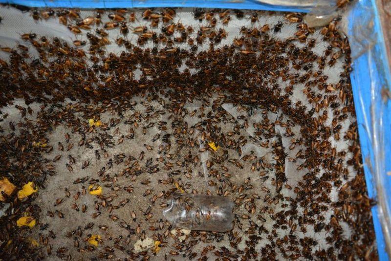 cricket farms