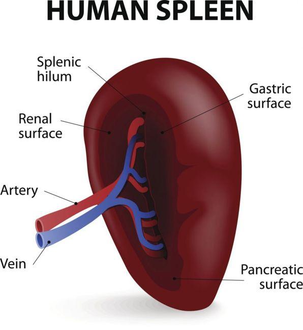 spleen and immune system