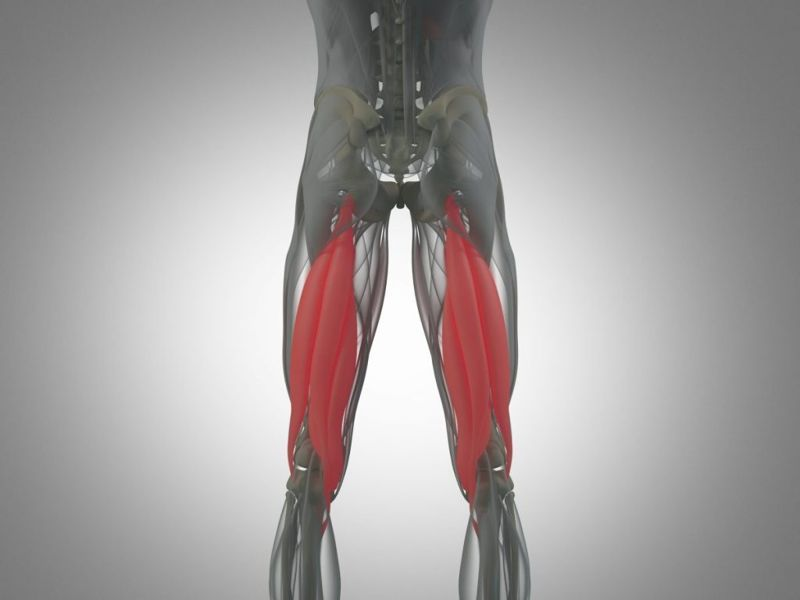 thigh muscles of the leg