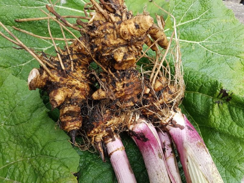 butterbur extract root