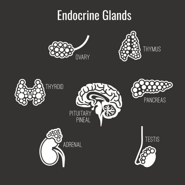 glands brain