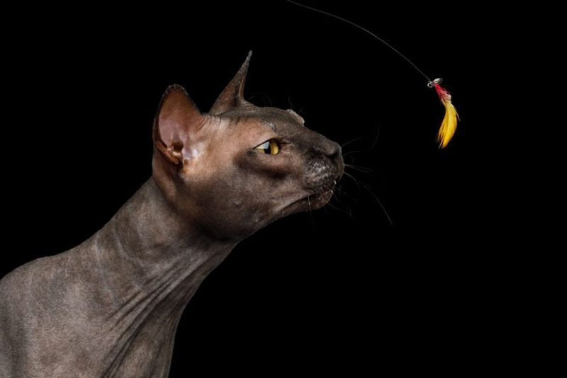 intelligent cats Sphynx Cats