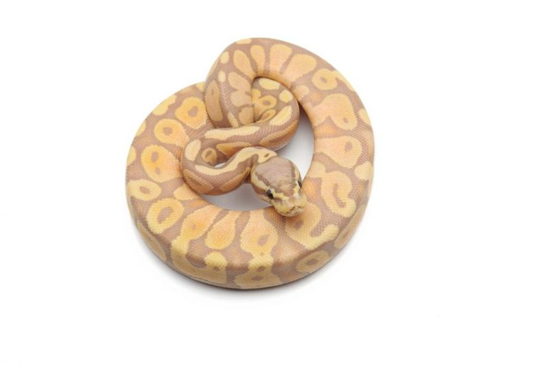 pet ball python