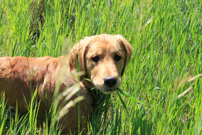 why do dogs eat grass