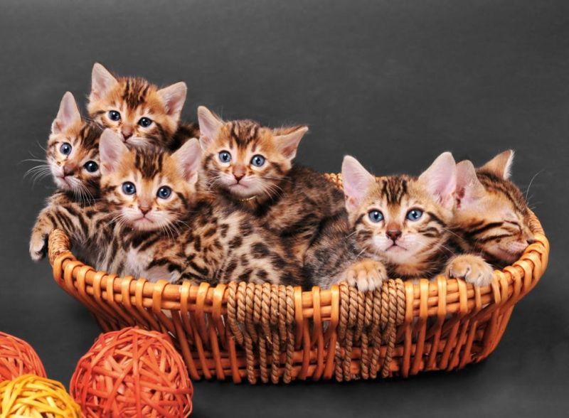 expensive cats Bengal