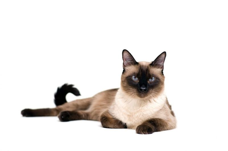 chatty Siamese cats