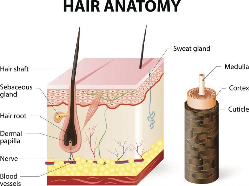 hair anatomy human hair