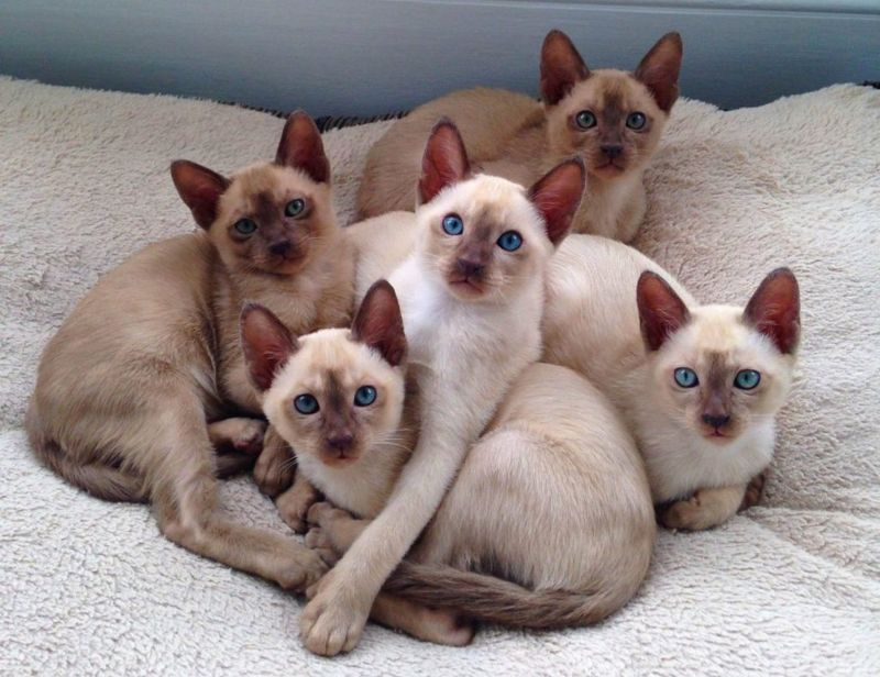 breeds that purr