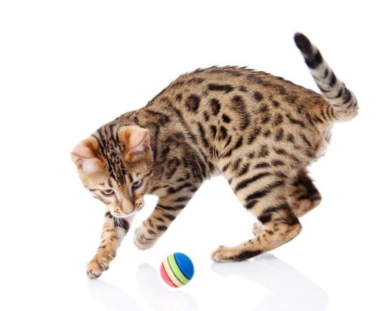 pet cats Bengal