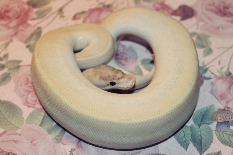 species ball python