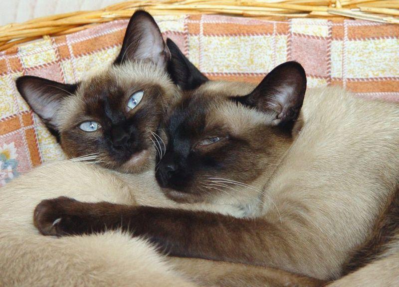 social animals Siamese cats