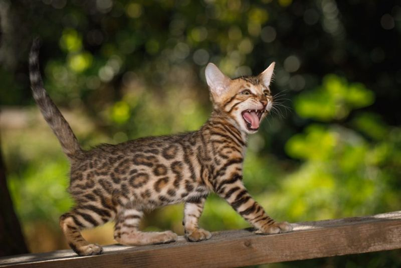 cats breed Bengal