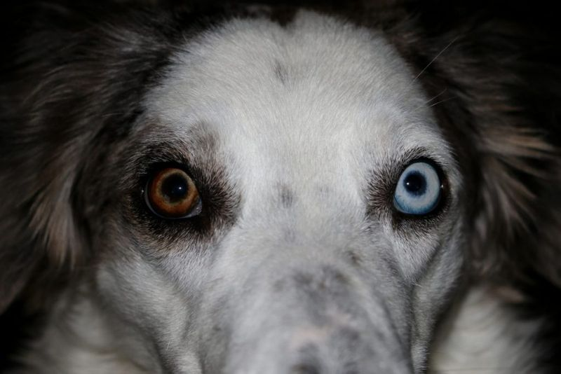 is a Australian Shepherd the right dog for me