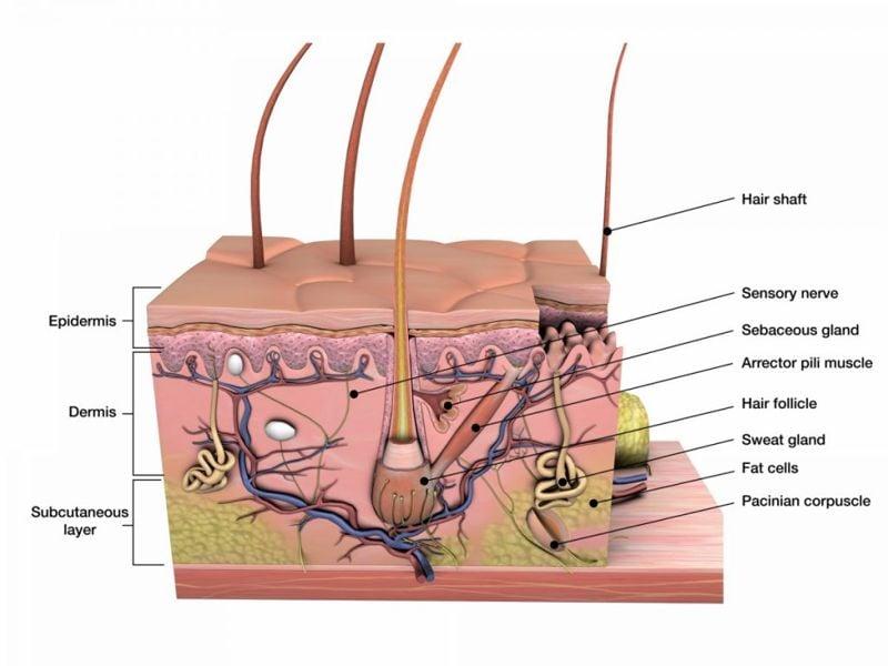 hair follicle human hair