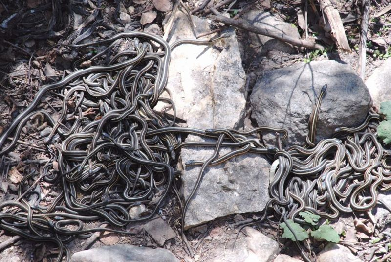 facts Garter snakes