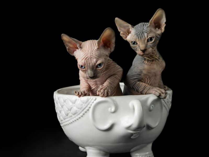 Sphynx Cats active