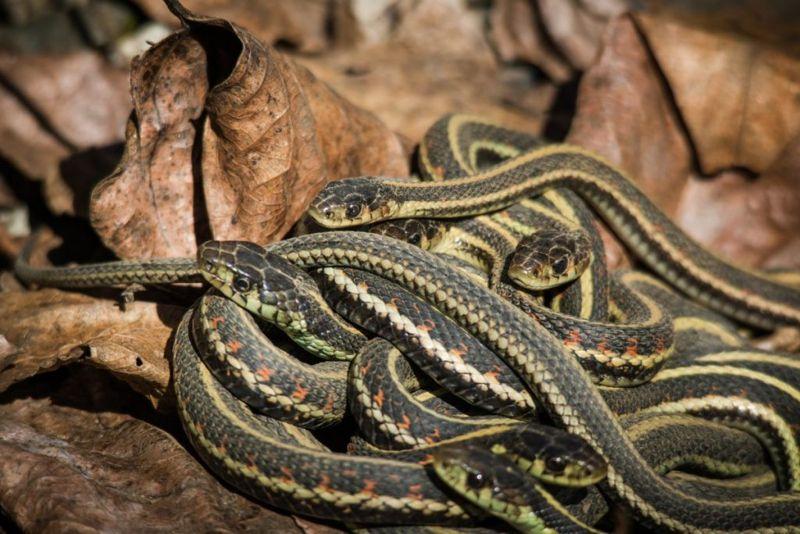 mating Garter snakes