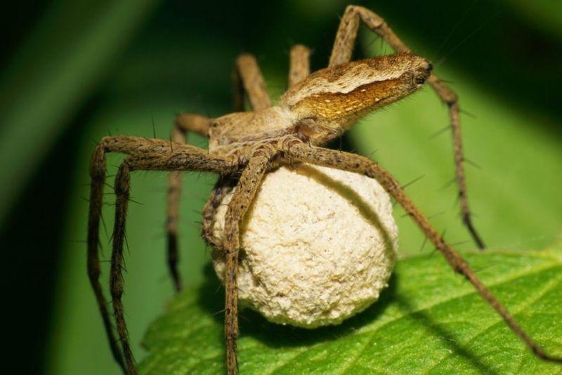 reproduction Huntsman Spider