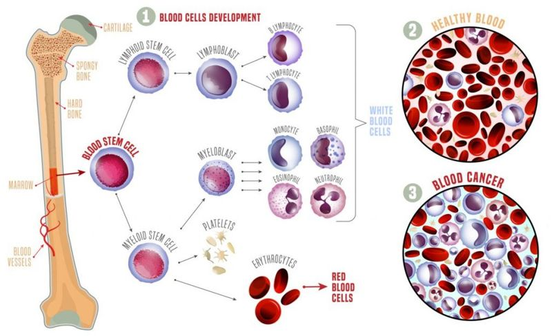 Red blood cells creation