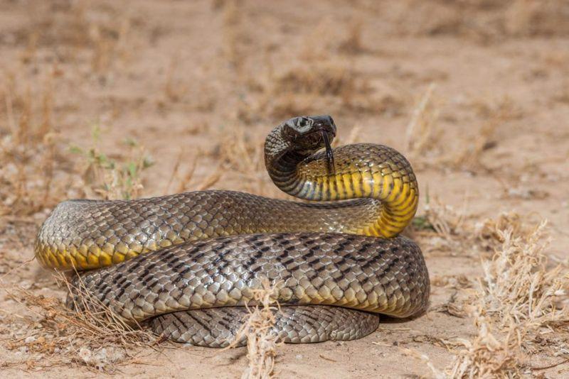 most Venomous snakes