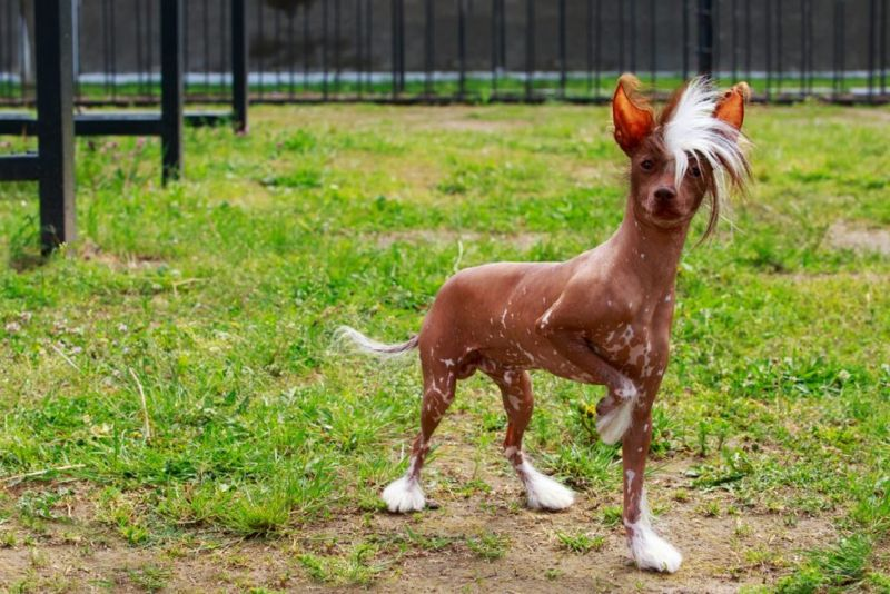 Chinese Crested Interesting Looks