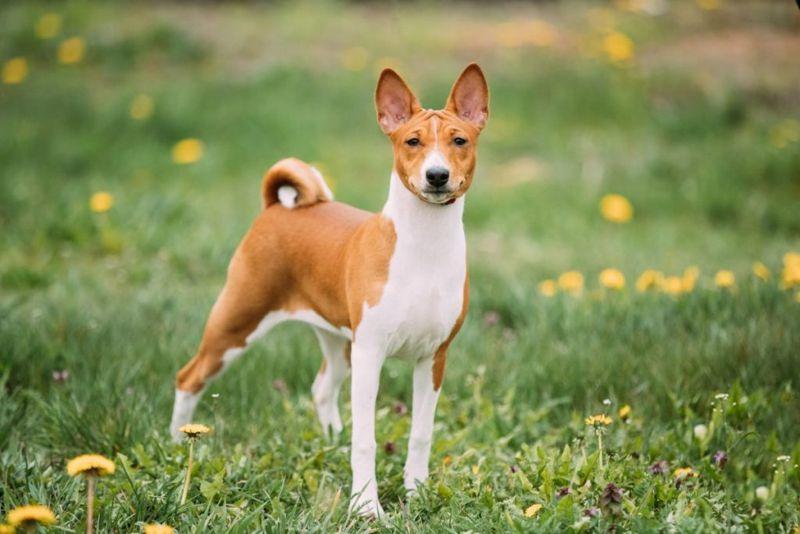 basenji barkless dog