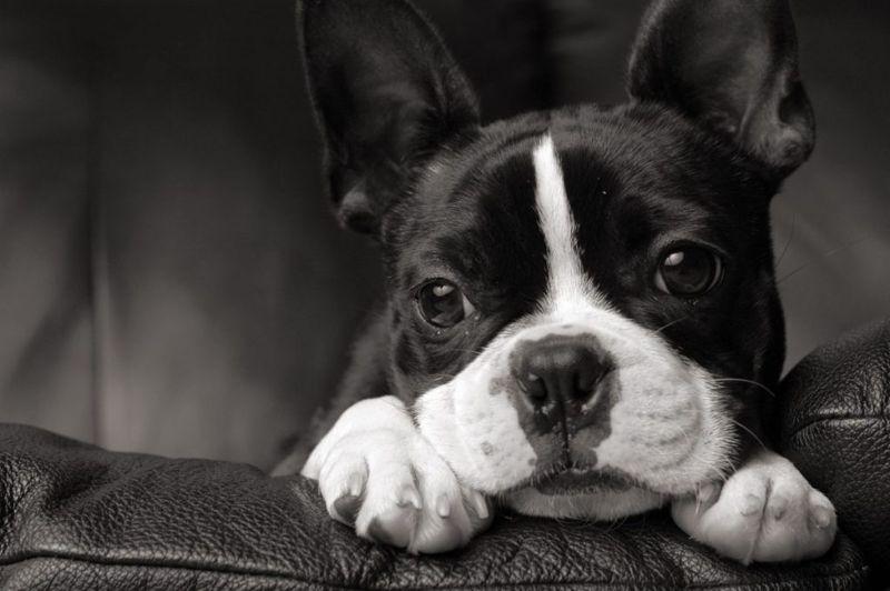 boston terrier quiet dogs