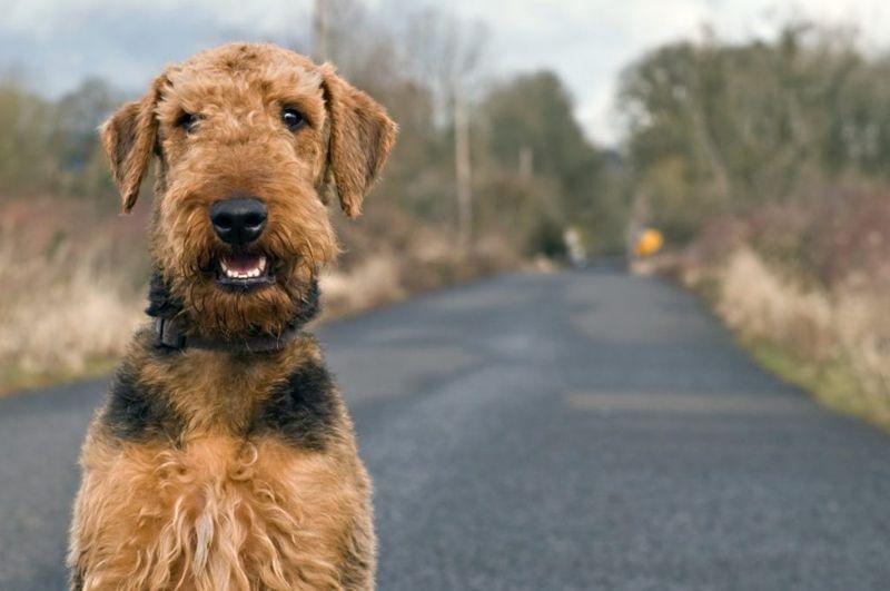 Airedale Terrier Loves Walks