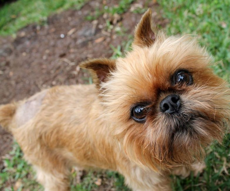 do brussels griffons shed