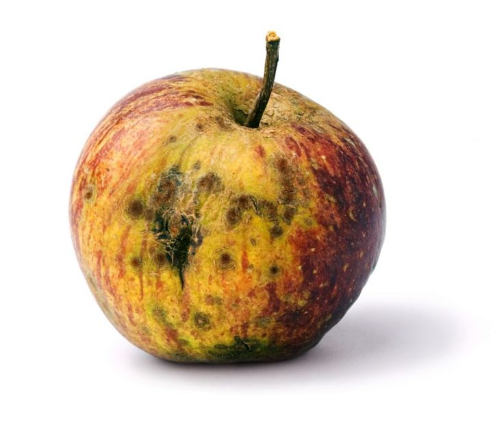 rotten fruit gnats