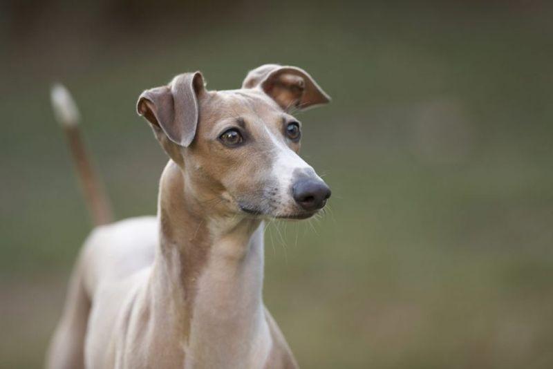do italian greyhounds bark