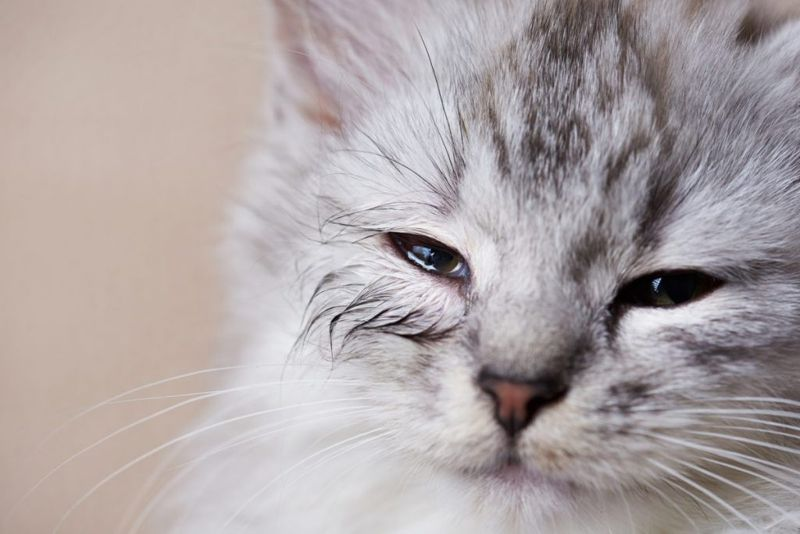 cats sneeze infection