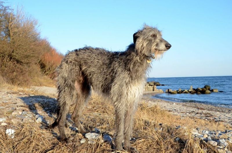 non shed scottish deerhound