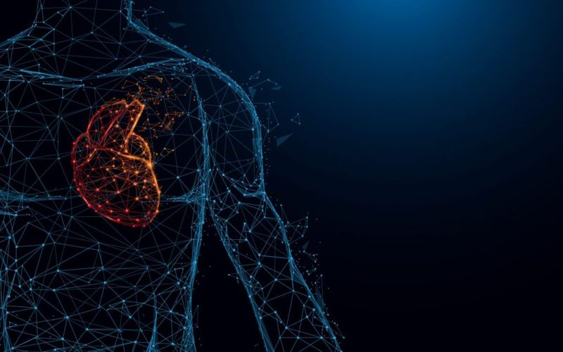 Ventricles Purkinje Fibers Cardiac