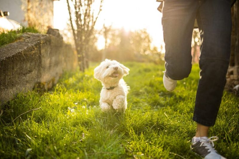 Maltese Loyal to Owners
