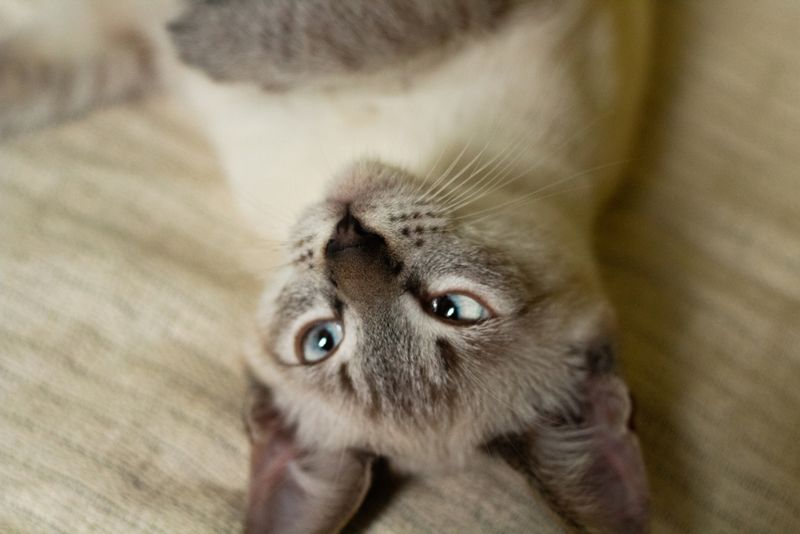 cat playing lying down lying with crossed eyes