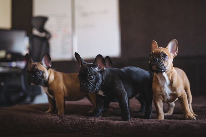 How much is French Bulldog
