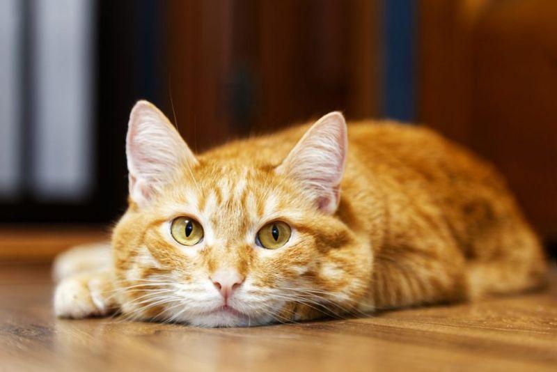 Sleepy ginger cat