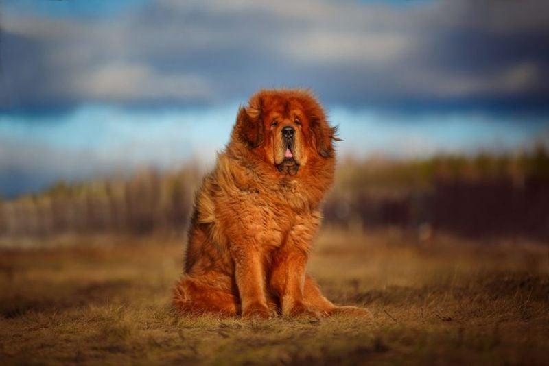 How much is Tibetan Mastiff